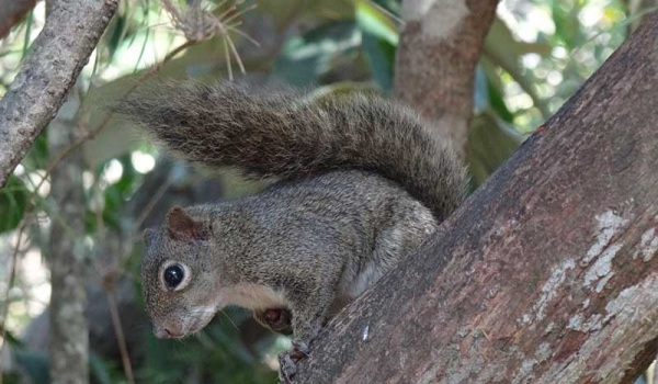 esquilo
